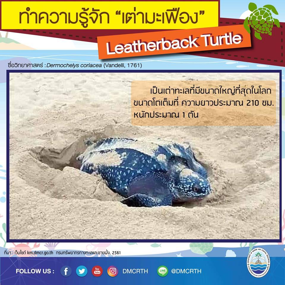 รู้จักแล้วจะรักเต่ามะเฟือง ตอนข้อมูลเต่ามะเฟือง