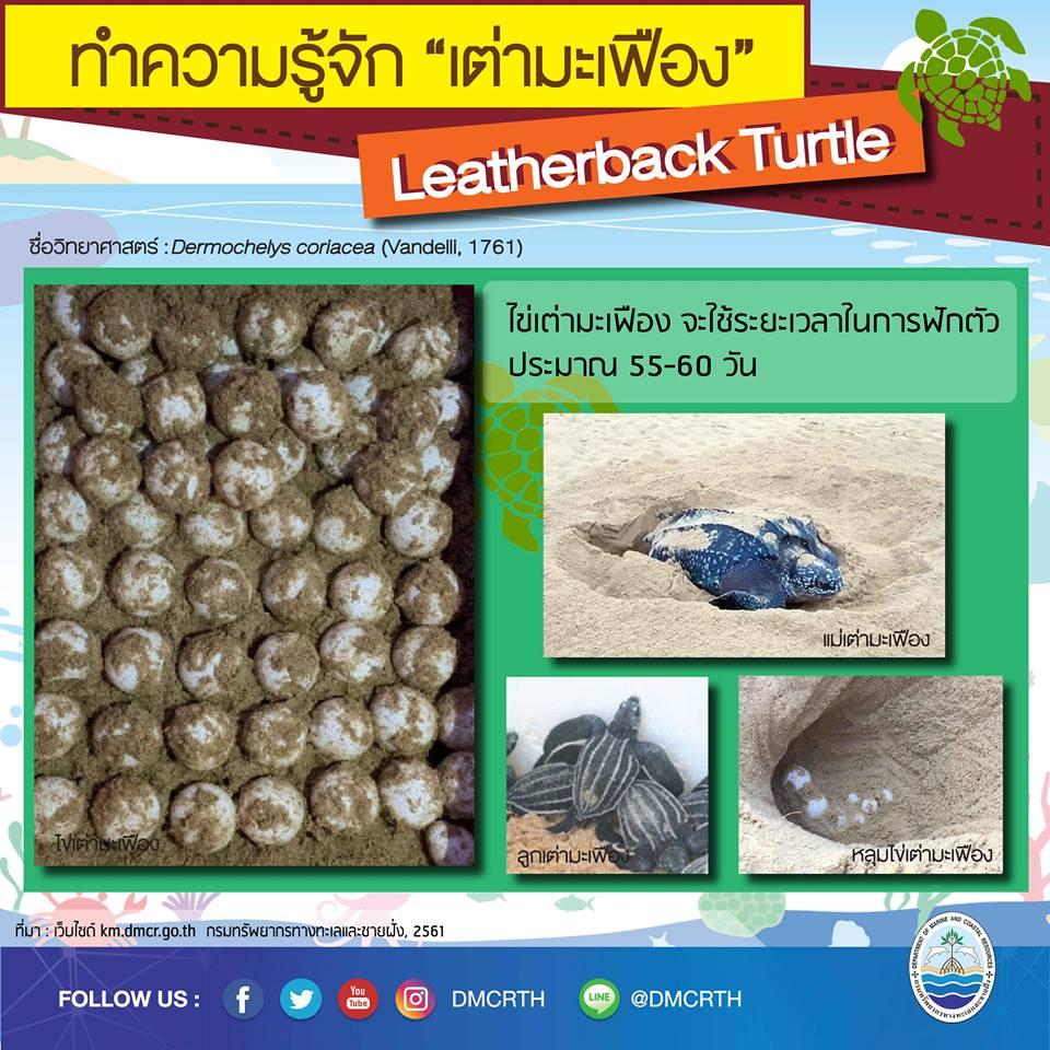 รู้จักแล้วจะรักเต่ามะเฟือง ตอนไข่เต่า