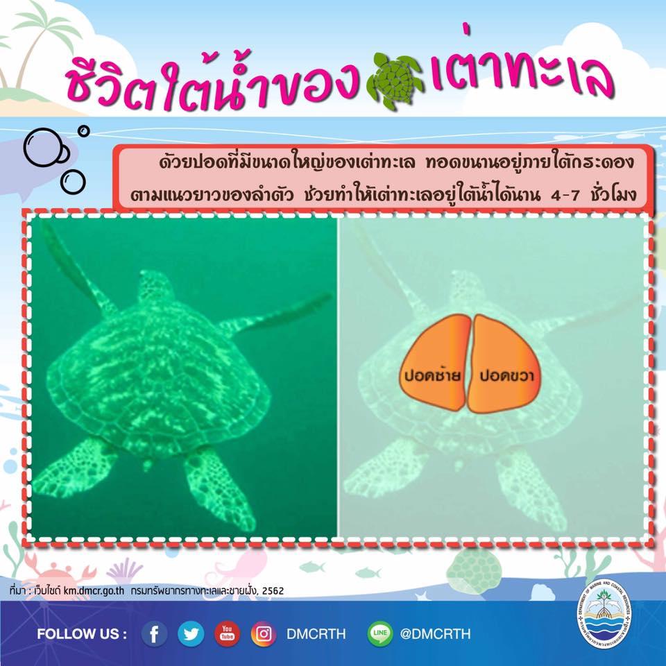 รู้จักแล้วจะรักเต่าทะเล ตอนทำไมเต่าอยู่ใต้ทะเลได้นานนาน