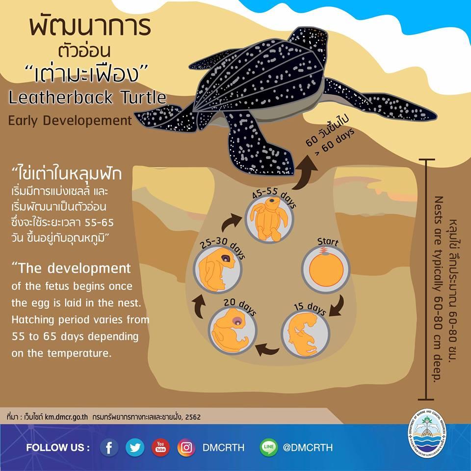 เรารักเต่ามะเฟือง ตอนที่ 1 : พัฒนาการของเต่ามะเฟือง