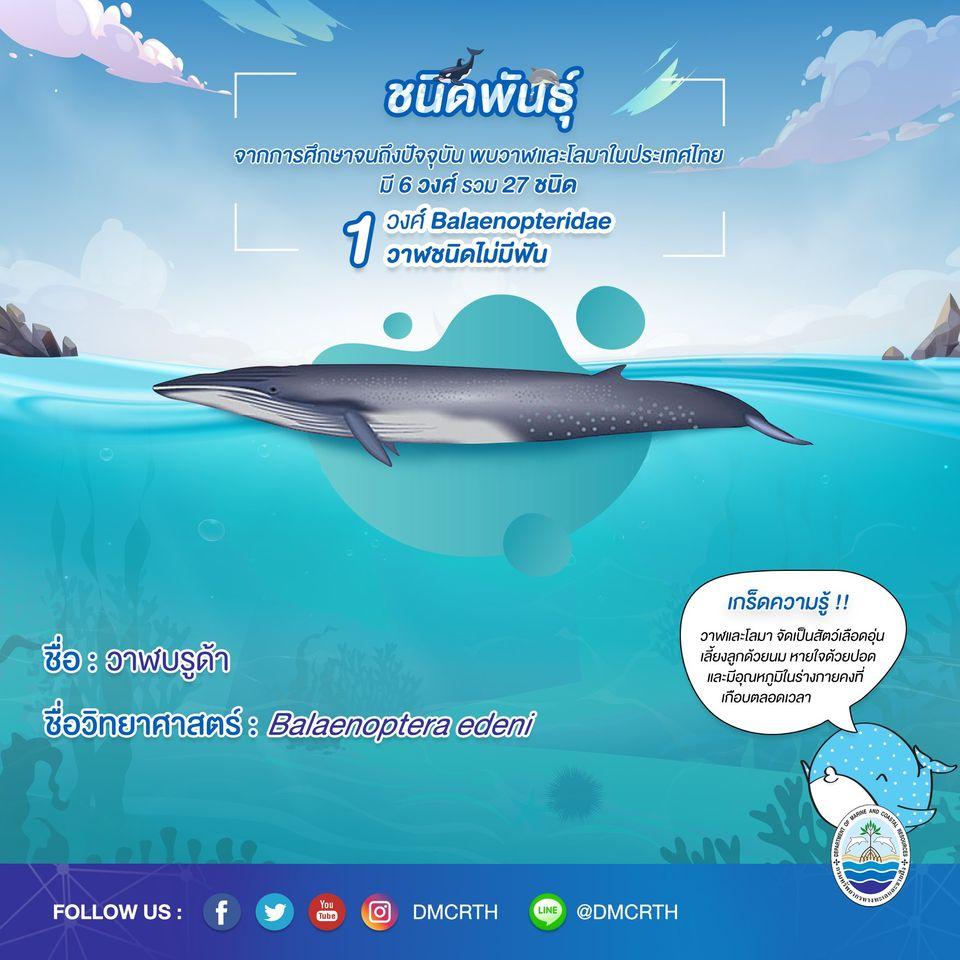 รู้จักเรา รู้จักวาฬ/โลมา วันละชนิด #๒ วาฬบรูด้า