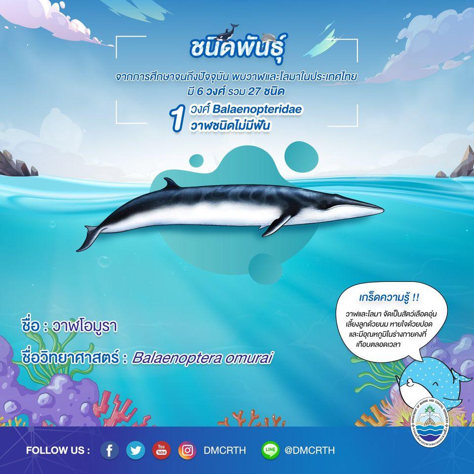รู้จักเรา รู้จักวาฬ/โลมา วันละชนิด #๓ วาฬโอมูรา