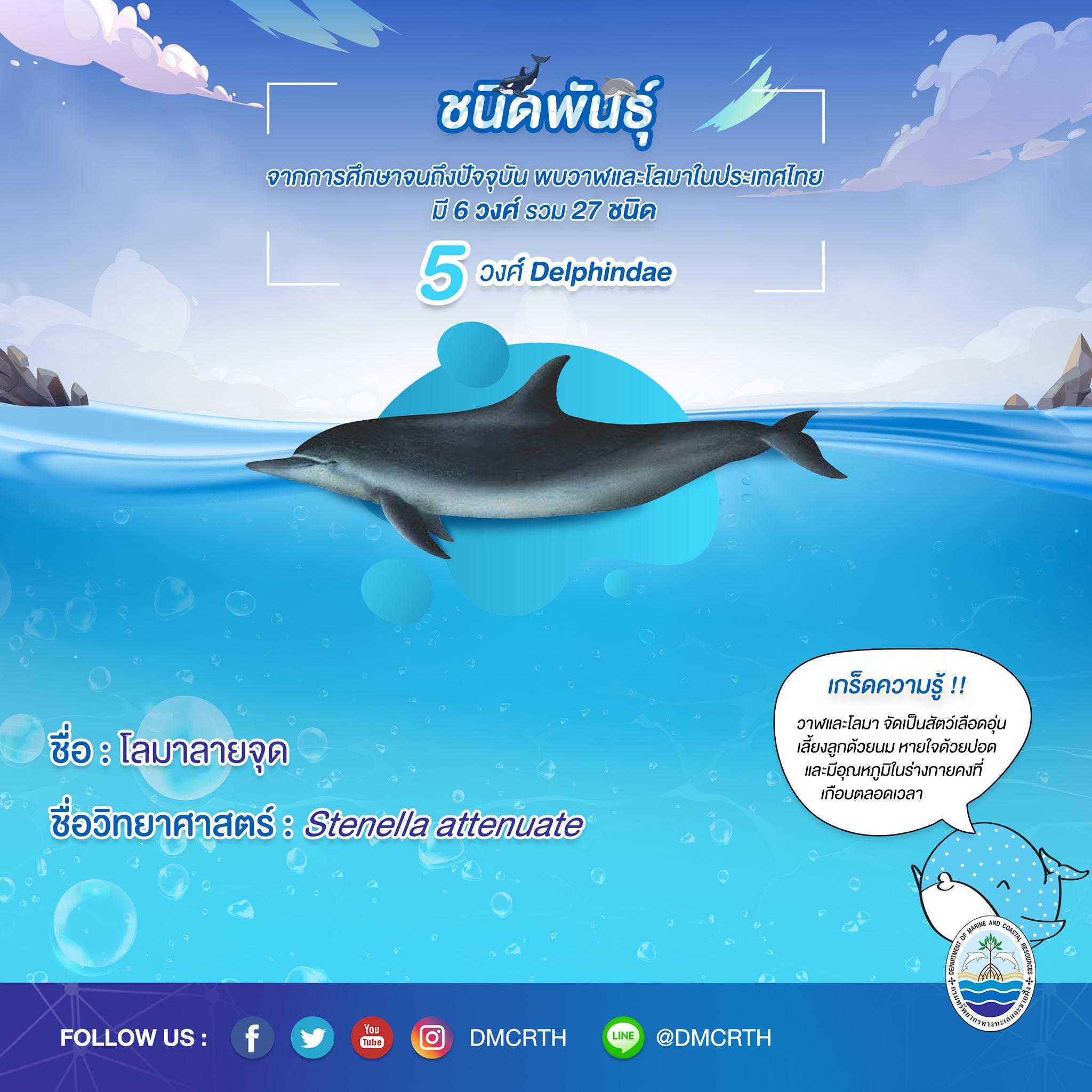 รู้จักเรา รู้จักวาฬ/โลมา วันละชนิด #๒๓ โลมาลายจุด