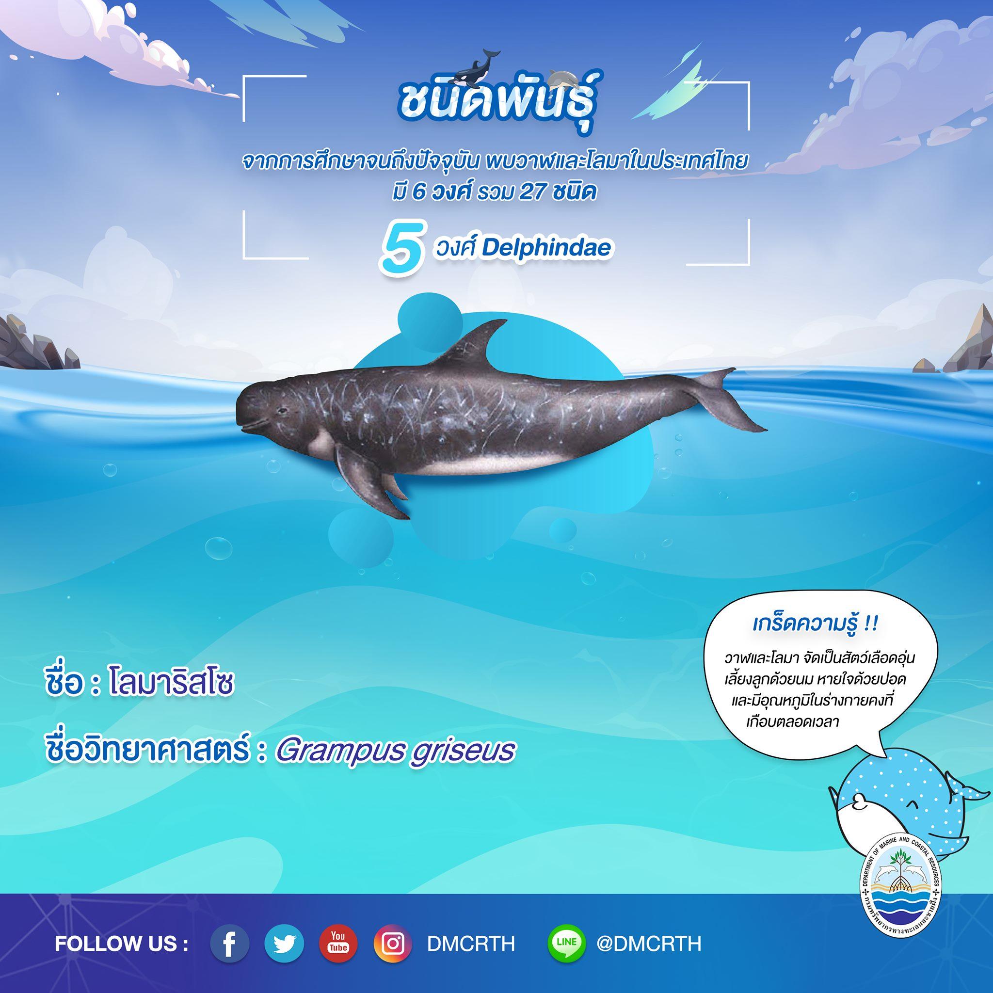 รู้จักเรา รู้จักวาฬ/โลมา วันละชนิด #๒๖ โลมาริสโซ