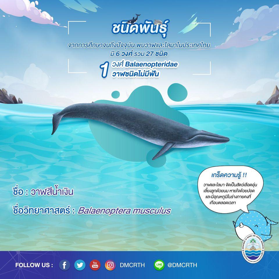 รู้จักเรา รู้จักวาฬ/โลมา วันละชนิด #๕ วาฬสีน้ำเงิน