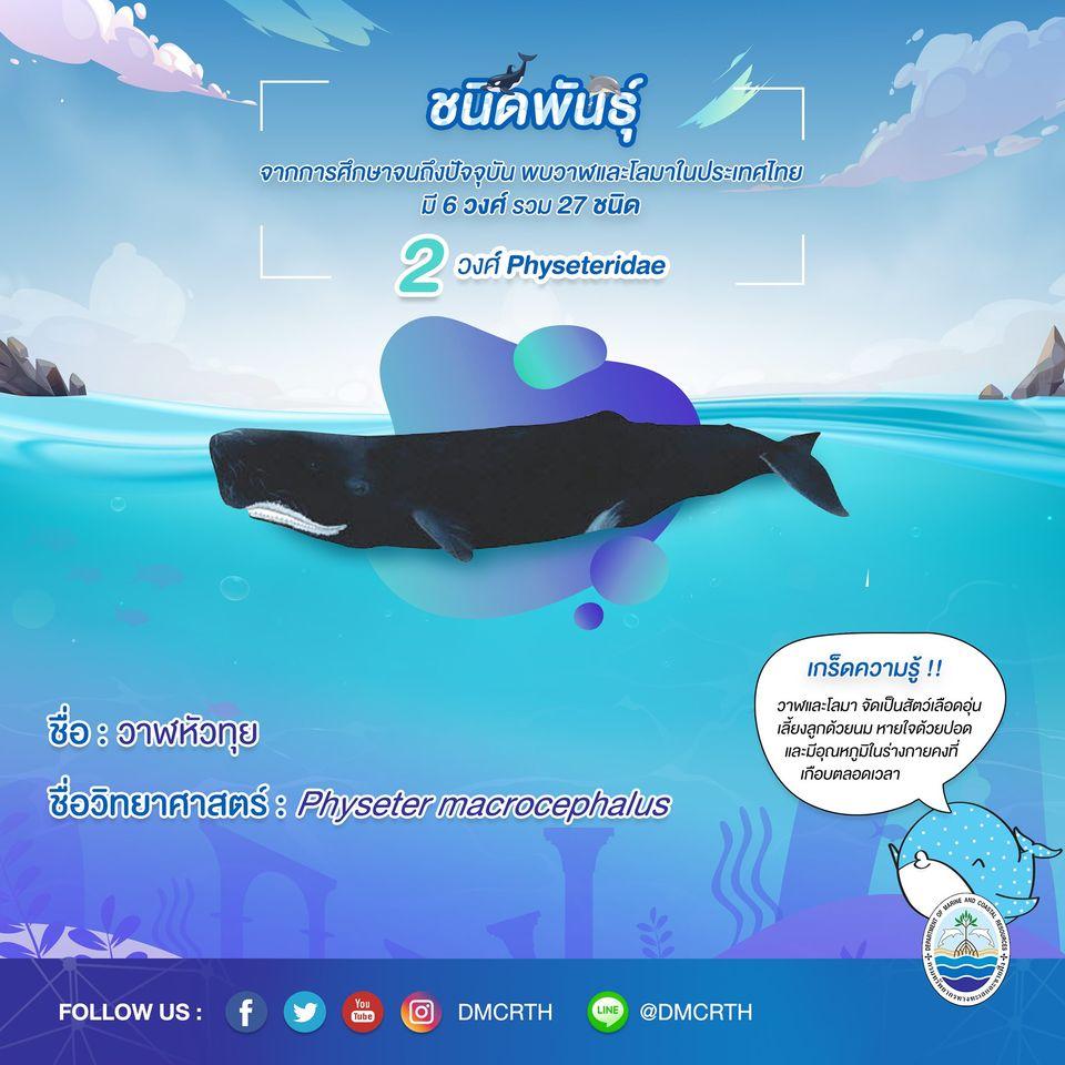 รู้จักเรา รู้จักวาฬ/โลมา วันละชนิด #๖ วาฬหัวทุย