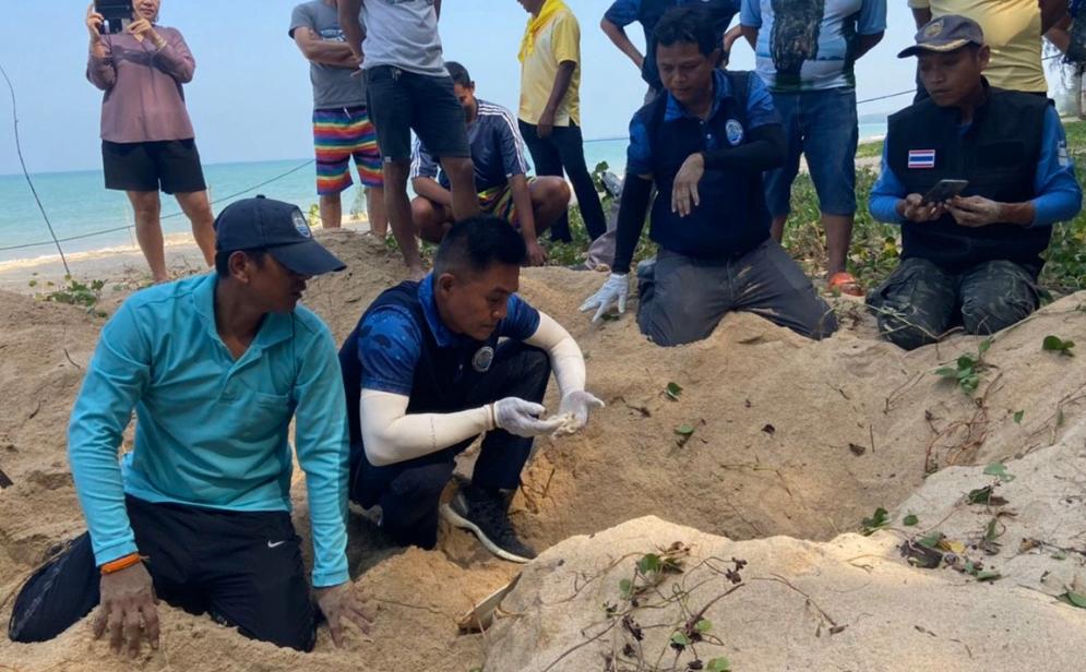 เต่ามะเฟือง ขึ้นวางไข่รังที่ 11 ที่หาดเกาะคอเขา