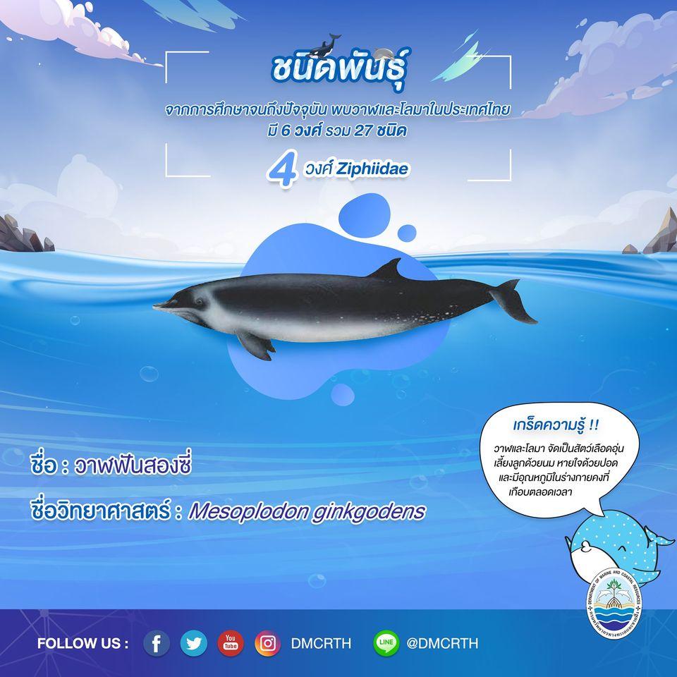 รู้จักเรา รู้จักวาฬ/โลมา วันละชนิด #๙ วาฬฟันสองซี่