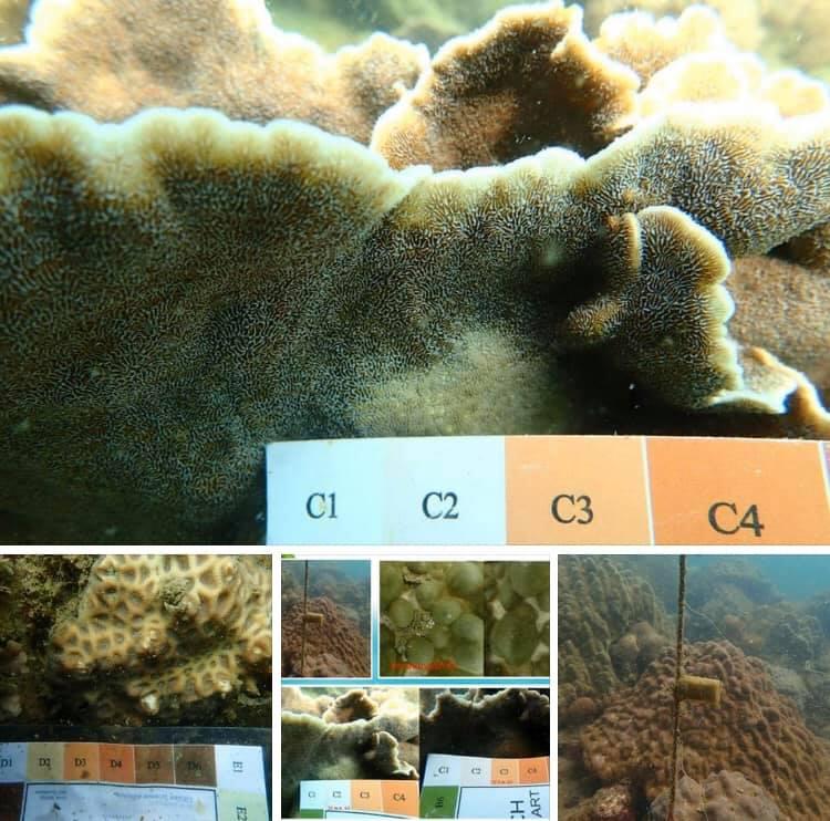 รอดแล้ว ปะการังเกาะไข่ ทะเลชุมพรไม่ฟอกขาวแล้ว