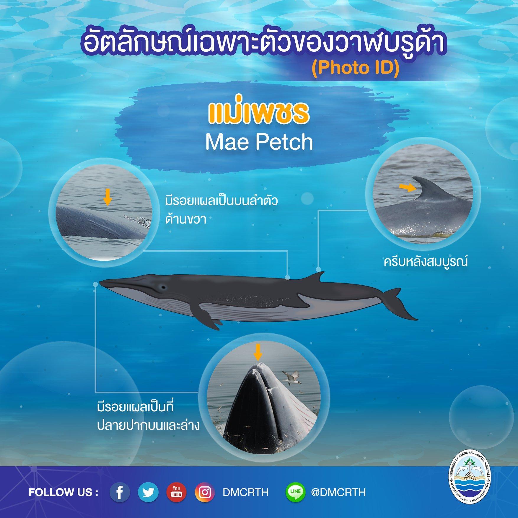 วันละวาฬ มารู้จัก ๖๐ วาฬบรูด้าในน่านน้ำไทย #๒ เจ้าเพชร