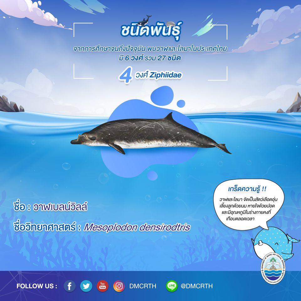 รู้จักเรา รู้จักวาฬ/โลมา วันละชนิด #๑๐ วาฬเบลน์วิลล์