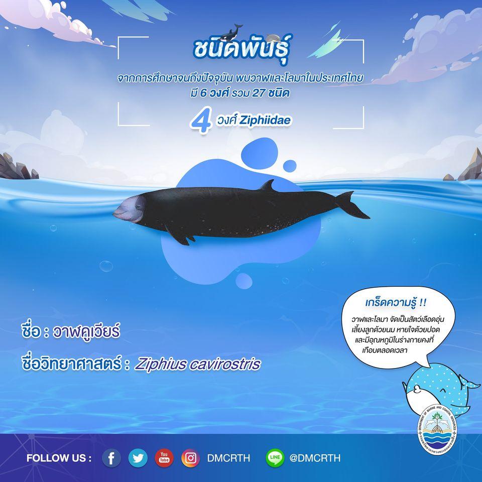 รู้จักเรา รู้จักวาฬ/โลมา วันละชนิด #๑๑ วาฬคูเวียร์