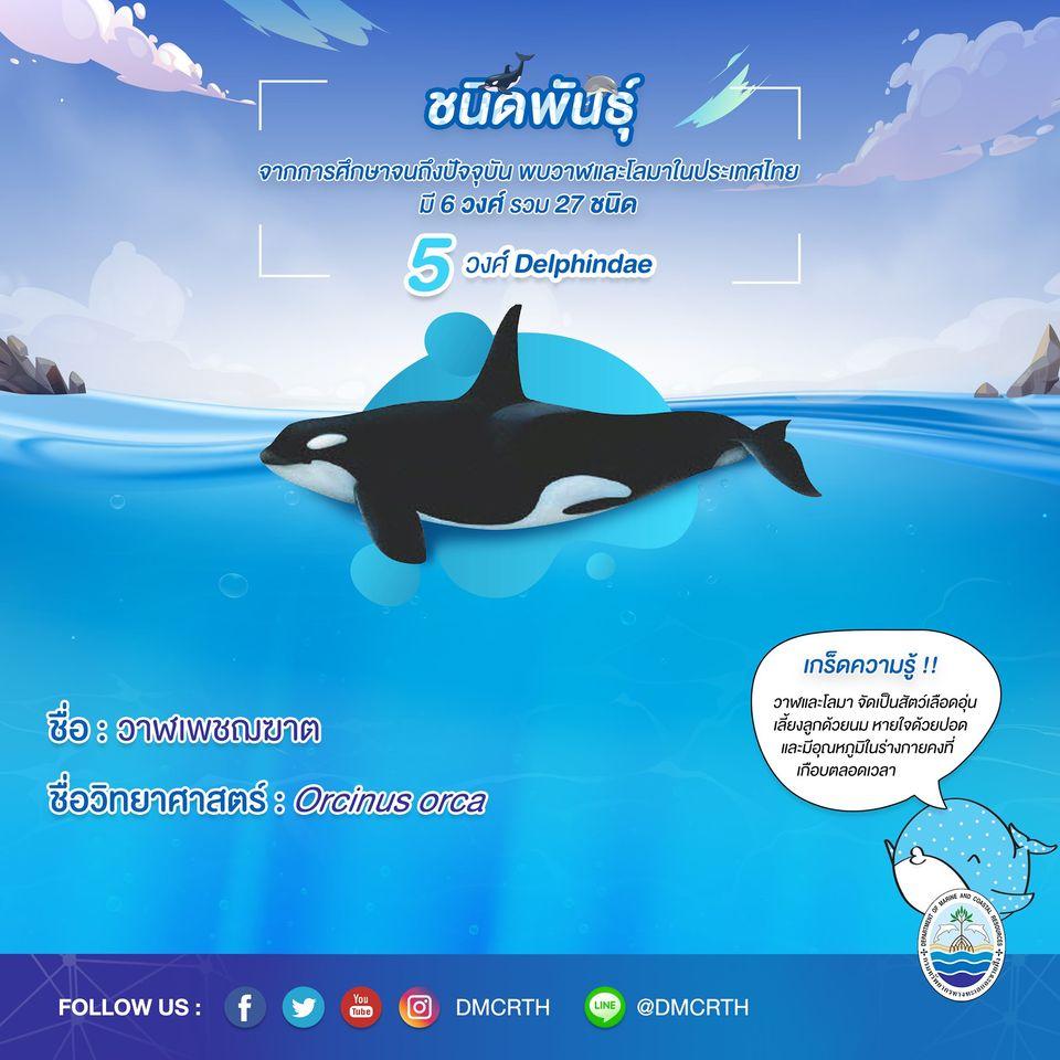 รู้จักเรา รู้จักวาฬ/โลมา วันละชนิด #๑๒ วาฬเพชฌฆาต