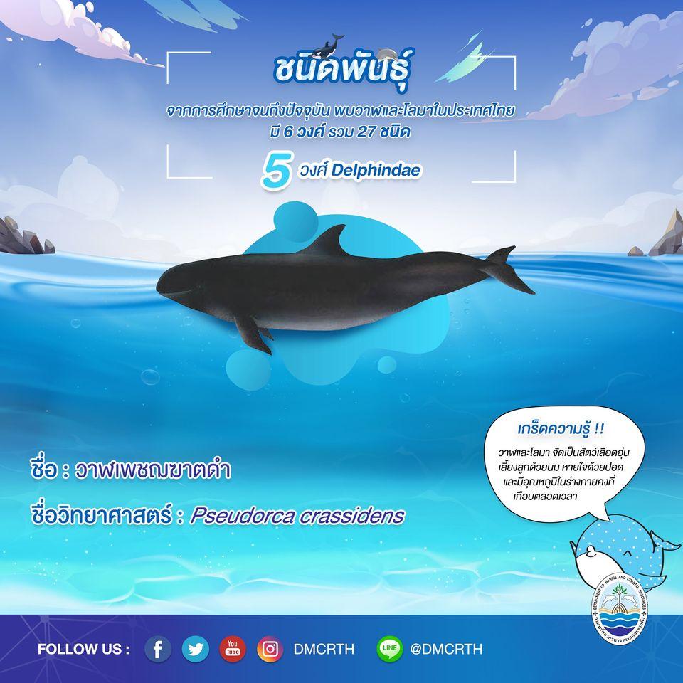 รู้จักเรา รู้จักวาฬ/โลมา วันละชนิด #๑๓ วาฬเพชฌฆาตดำ