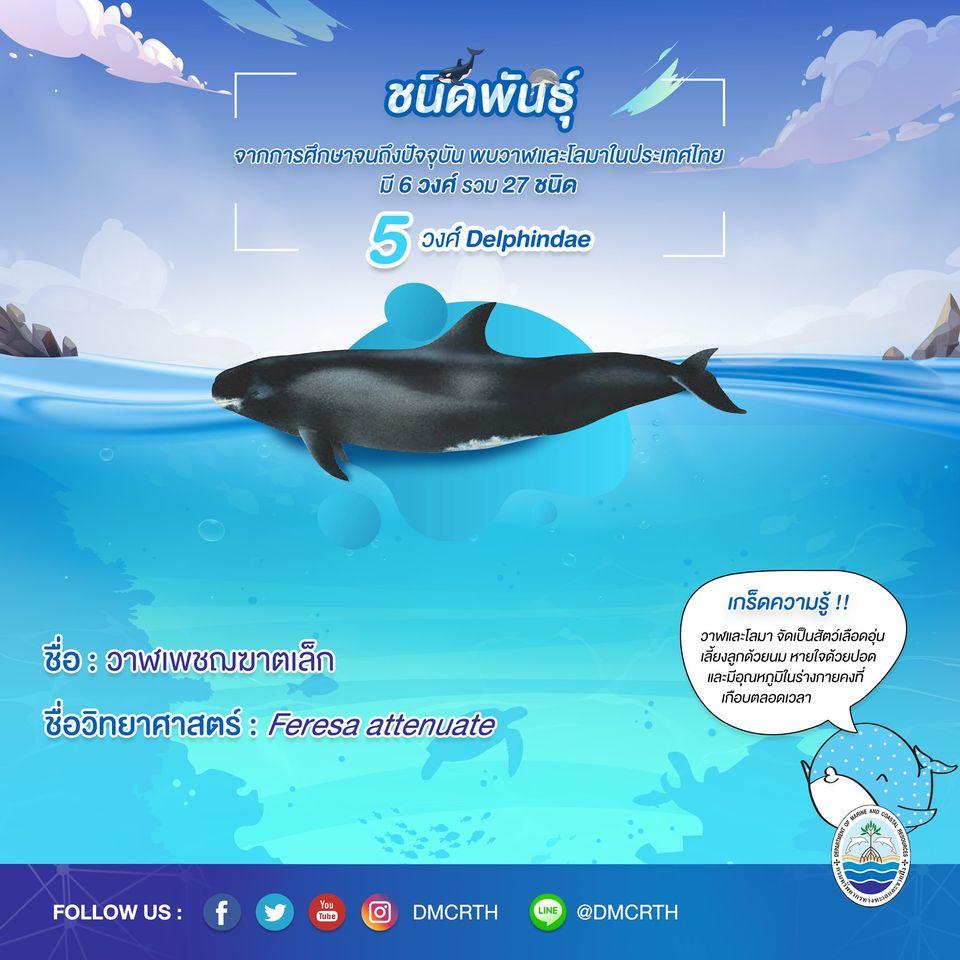 รู้จักเรา รู้จักวาฬ/โลมา วันละชนิด #๑๔ วาฬเพชฌฆาตเล็ก