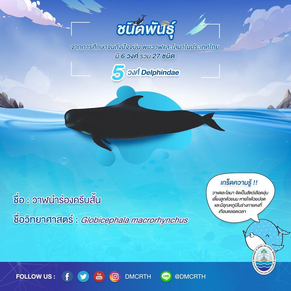 รู้จักเรา รู้จักวาฬ/โลมา วันละชนิด #๑๕ วาฬนำร่องครีบสั้น