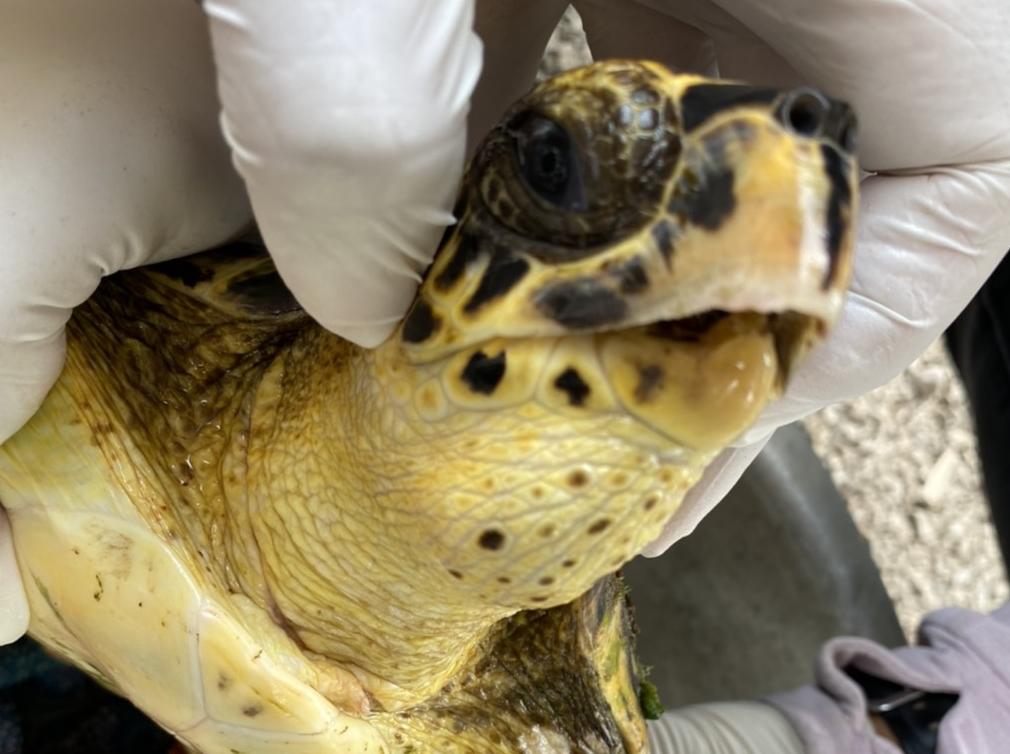 ศวทอ. เร่งช่วยชีวิตเต่าทะเลพบเศษอวนพันรัดจนเกิดบาดแผล