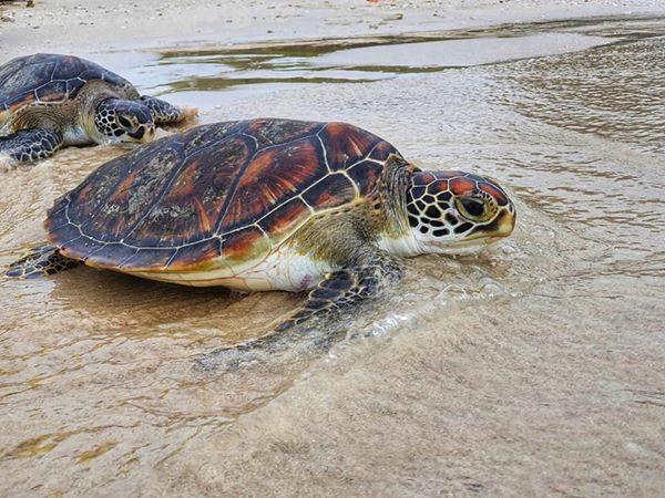 กลุ่มสัตว์ทะเลหายาก ทช. ปล่อยเต่าทะเลกลับบ้าน หลังพักฟื้นจนแข็งแรงดี