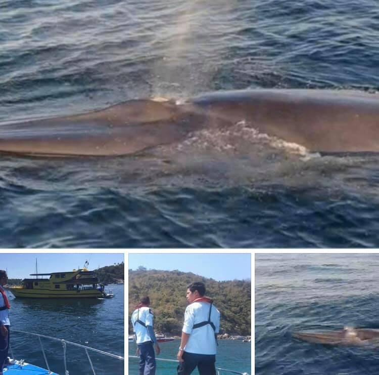 สุดน่ายินดี พบวาฬโอมูระ ระหว่างเกาะเฮและเกาะราชาใหญ่ ภูเก็ต