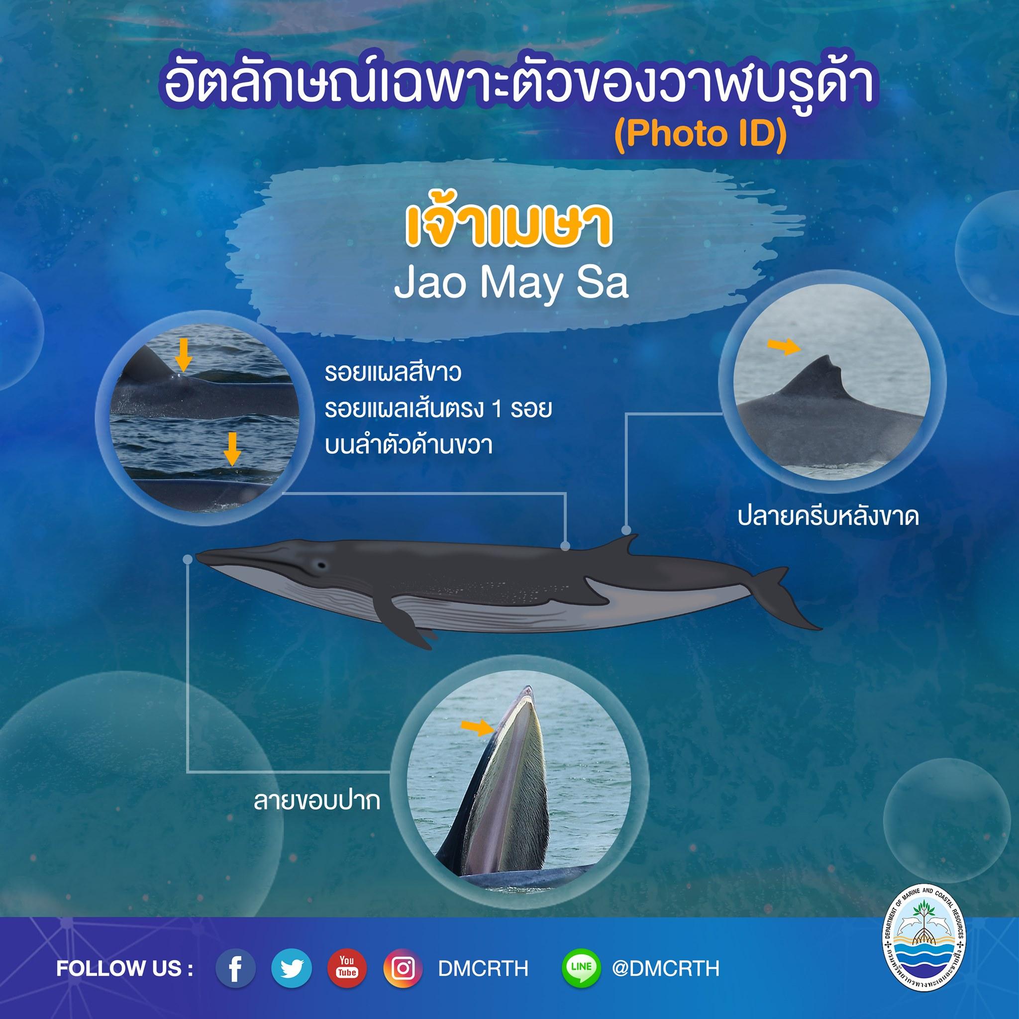 วันละวาฬ มารู้จัก ๖๐ วาฬบรูด้าในน่านน้ำไทย #๓ เจ้าเมษา