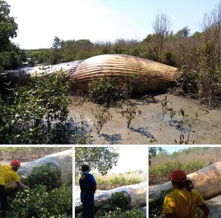 พบแล้ว ซากวาฬลอยจากสีชังมาเกยตื้นที่บางปูใหม่