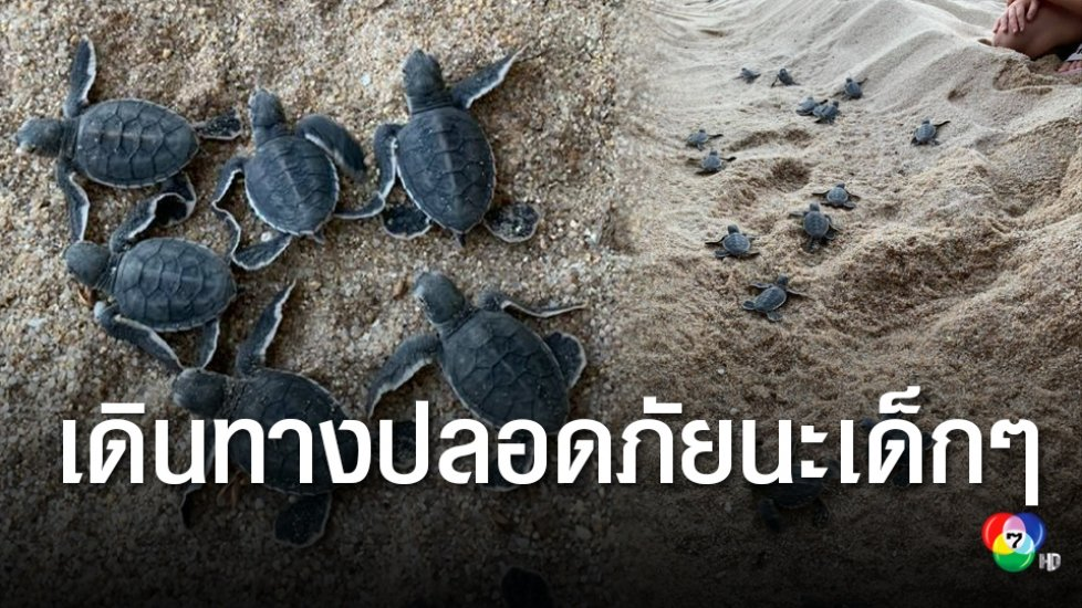 เฮทั้งเกาะสมุย! ลูกเต่าตนุฟักออกจากไข่ เดินทางท่องโลกกว้างในท้องทะเล