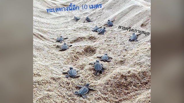 """""""ดร.ธรณ์"""" ดีใจ! เปิดภาพลูกเต่าคลานลงทะเล หลังมีแม่เต่าขึ้นวางไข่บนเกาะสมุย 9 รัง"""