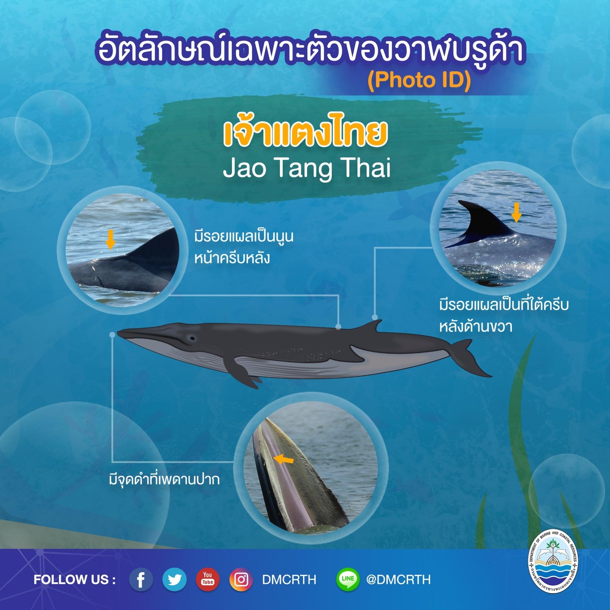 วันละวาฬ มารู้จัก ๖๐ วาฬบรูด้าในน่านน้ำไทย #๖ เจ้าแตงไทย