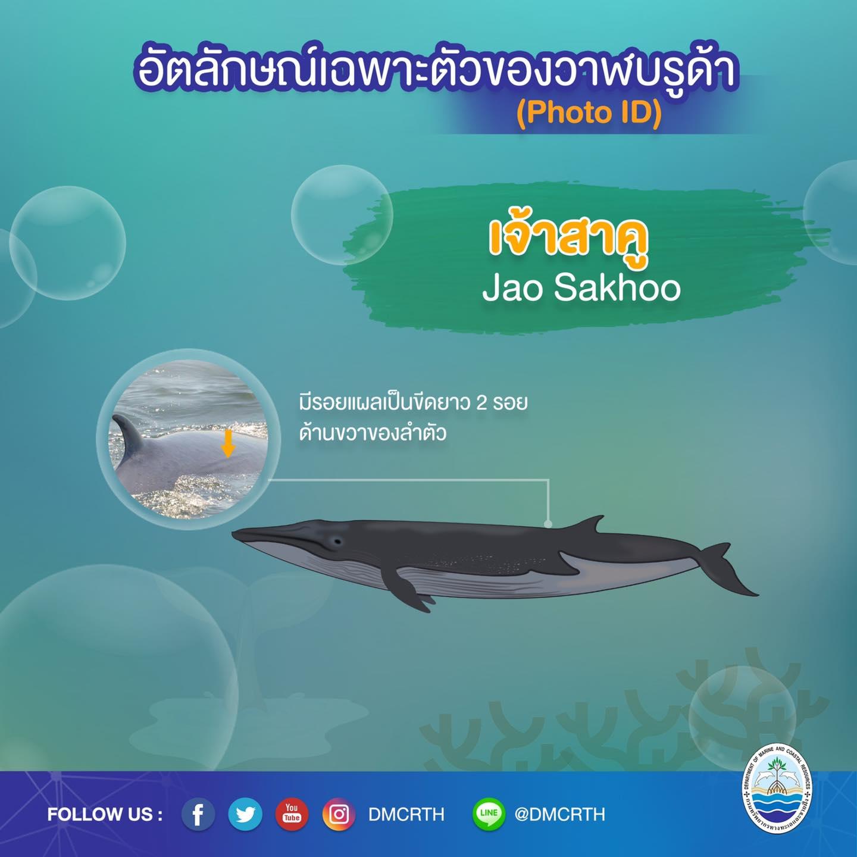 วันละวาฬ มารู้จัก ๖๐ วาฬบรูด้าในน่านน้ำไทย #๕๐ เจ้าสาคู