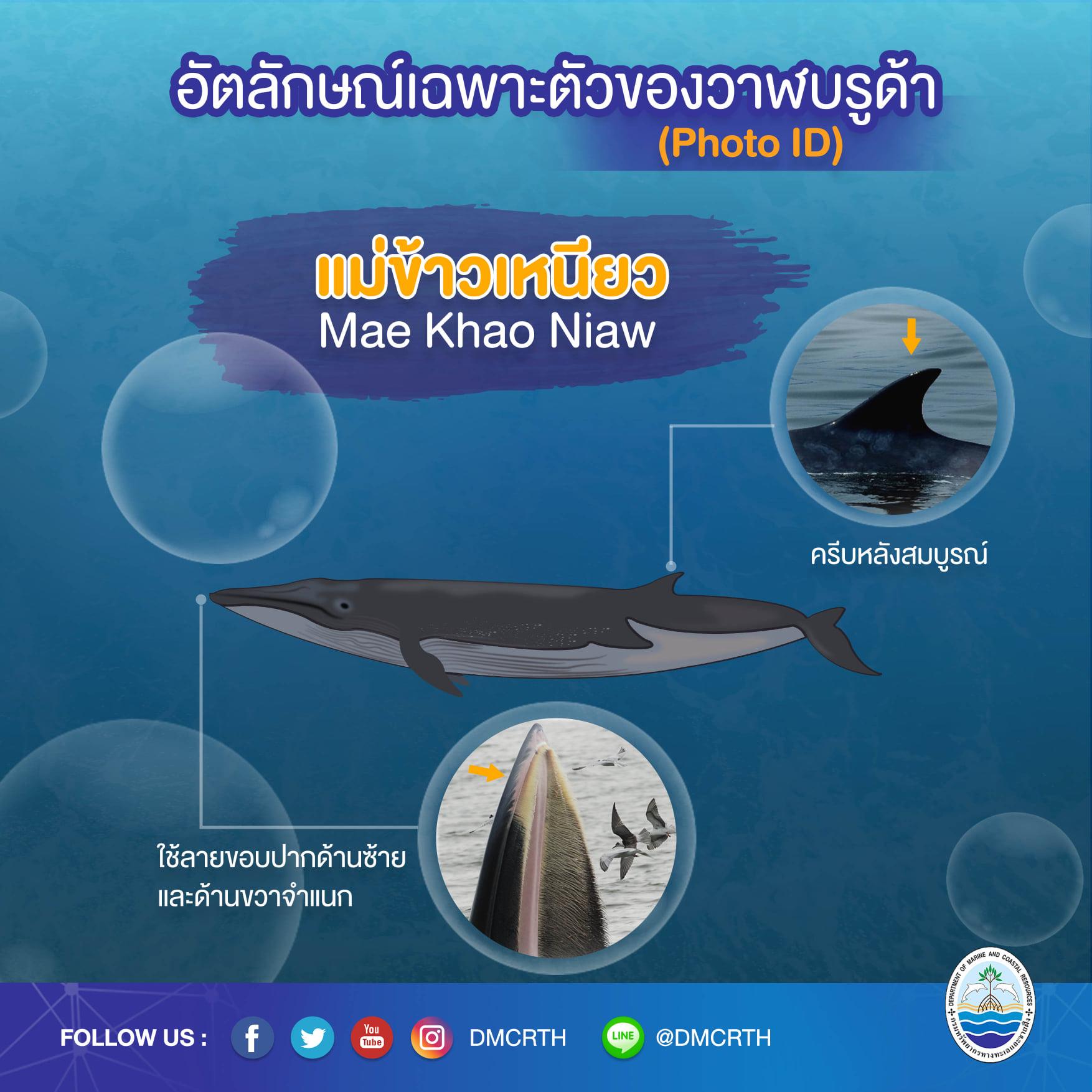 วันละวาฬ มารู้จัก ๖๐ วาฬบรูด้าในน่านน้ำไทย #๑๒ แม่ข้าวเหนียว
