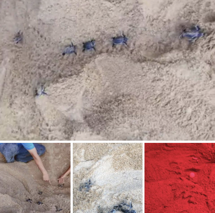 ทยอยส่งกลับทะเล ลูกเต่าตนุหาดดอนตาเหว่าฟักแล้ว