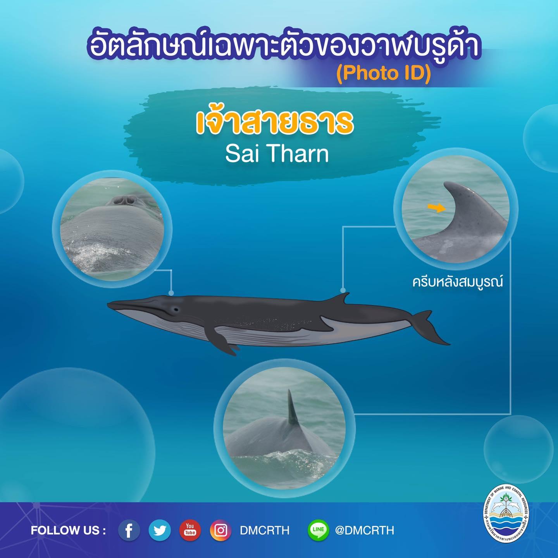 วันละวาฬ มารู้จัก ๖๐ วาฬบรูด้าในน่านน้ำไทย #๕๓ เจ้าสายธาร