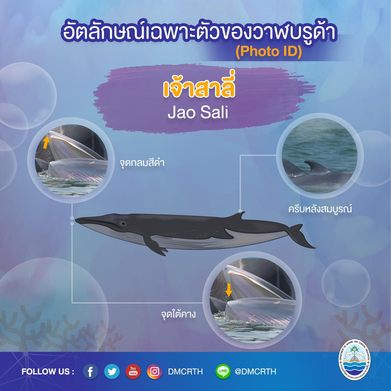 วันละวาฬ มารู้จัก ๖๐ วาฬบรูด้าในน่านน้ำไทย #๕๕ เจ้าสาลี่