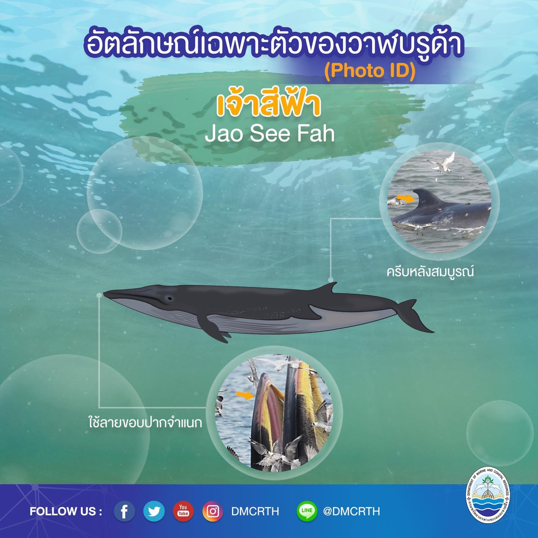 วันละวาฬ มารู้จัก ๖๐ วาฬบรูด้าในน่านน้ำไทย #๕๘ เจ้าสีฟ้า
