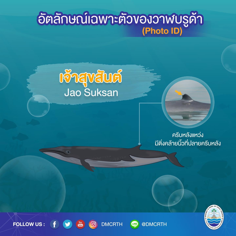 วันละวาฬ มารู้จัก ๖๐ วาฬบรูด้าในน่านน้ำไทย #๖๐ เจ้าสุขสันต์