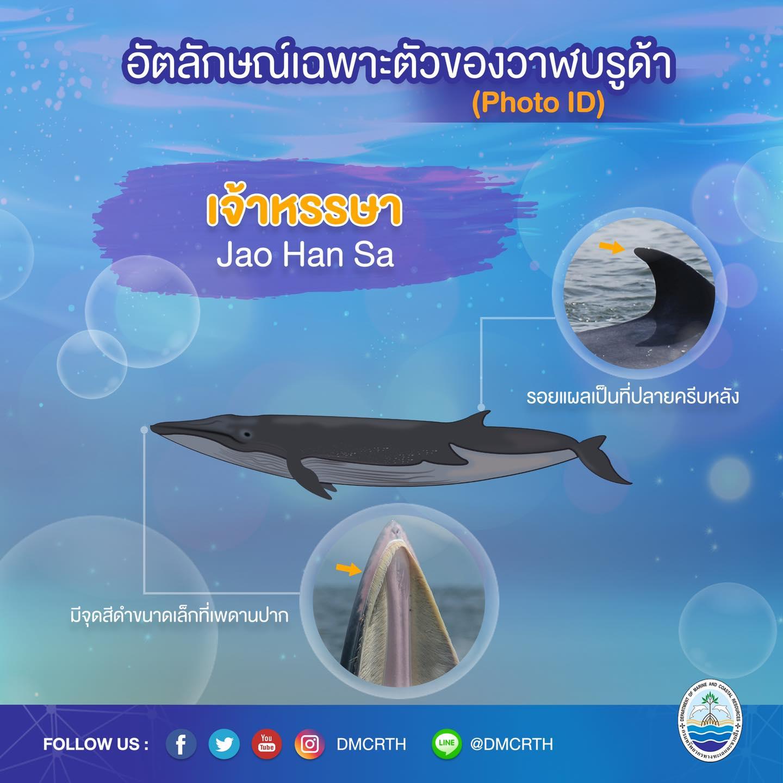 วันละวาฬ มารู้จัก ๖๐ วาฬบรูด้าในน่านน้ำไทย #๖๑ เจ้าหรรษา