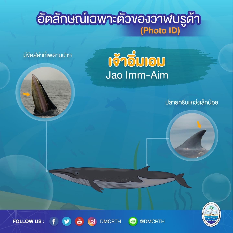 วันละวาฬ มารู้จัก ๖๐ วาฬบรูด้าในน่านน้ำไทย #๖๒ เจ้าอิ่มเอม