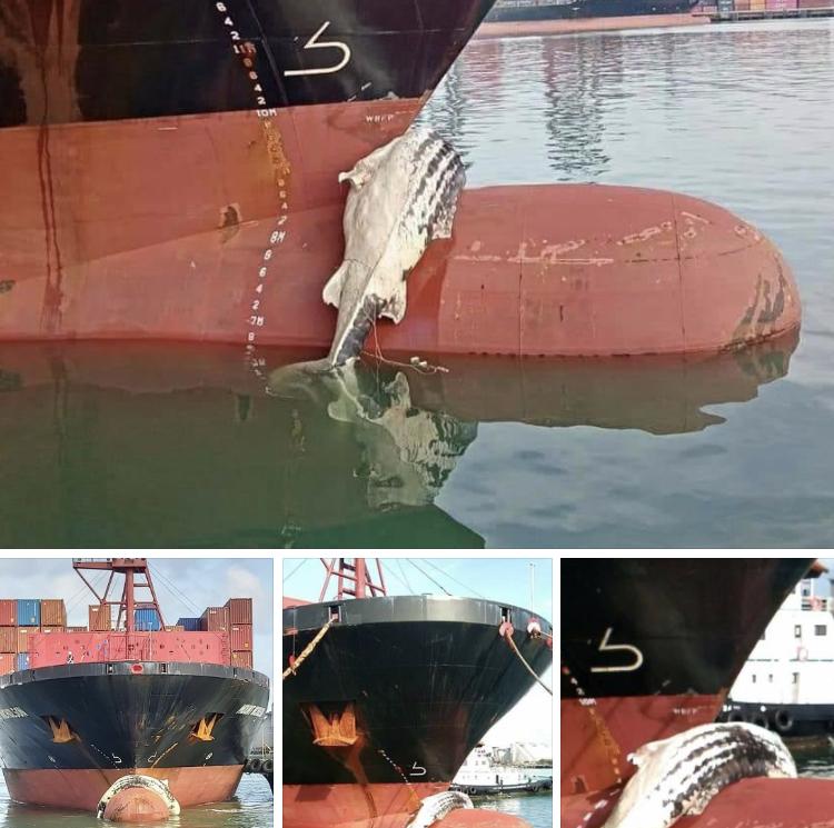 รับแจ้งพบซากปลาฉลามวาฬ ลอยติดหัวเรือเดินสมุทร