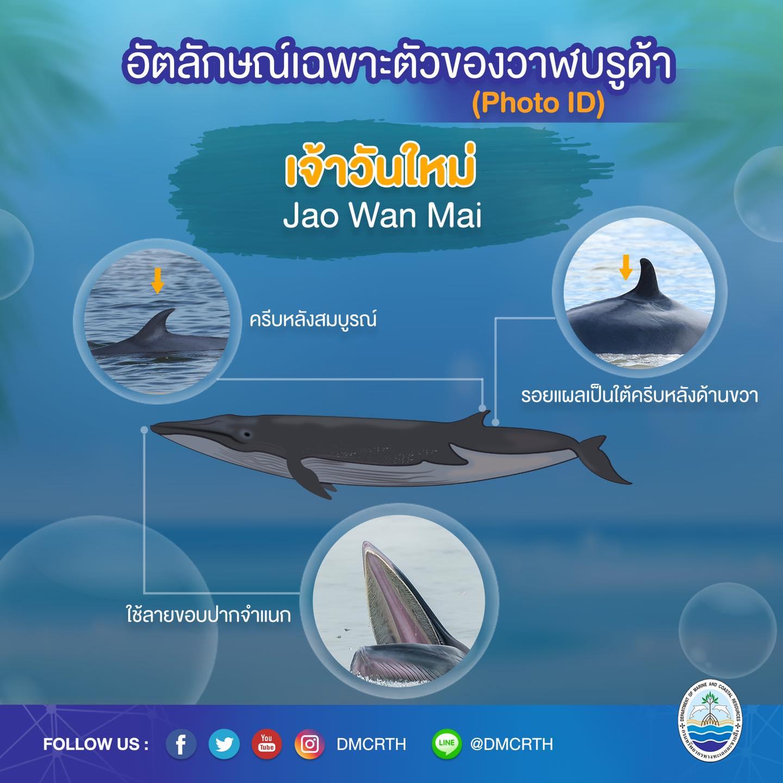 วันละวาฬ มารู้จัก ๖๐ วาฬบรูด้าในน่านน้ำไทย #๓๗ เจ้าวันใหม่