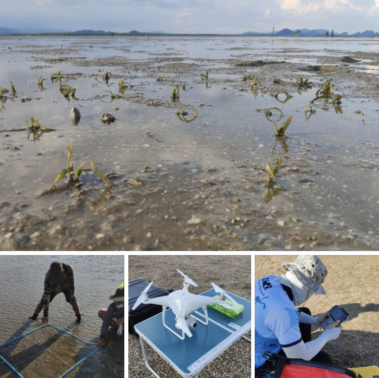 บินโดรนติดตามผลการฟื้นฟูแหล่งหญ้าทะเลบ้านบางพัฒน์