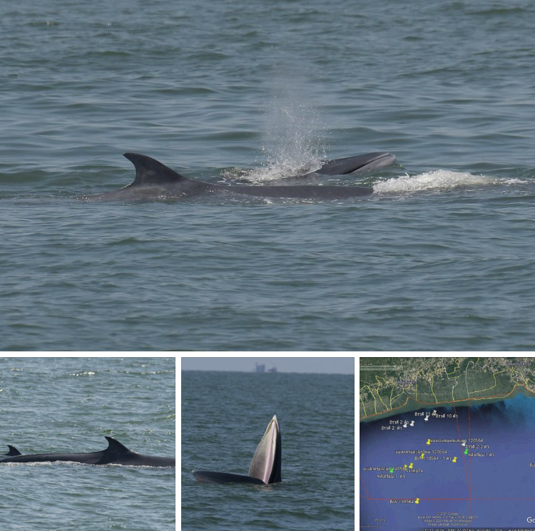 ดีใจสุดๆ ผลสำรวจวาฬบรูด้าอ่าวไทยตอนบน พบลูกน้อยตัวใหม่เพิ่ม