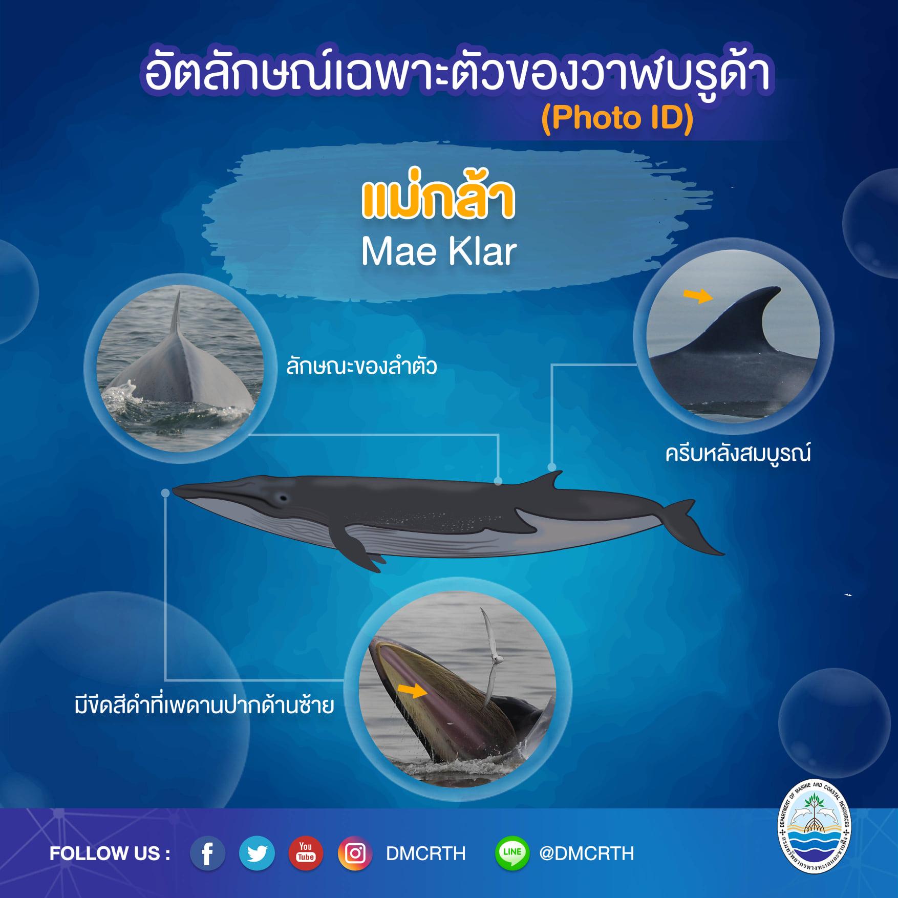 วันละวาฬ มารู้จัก ๖๐ วาฬบรูด้าในน่านน้ำไทย #๙ แม่กล้า