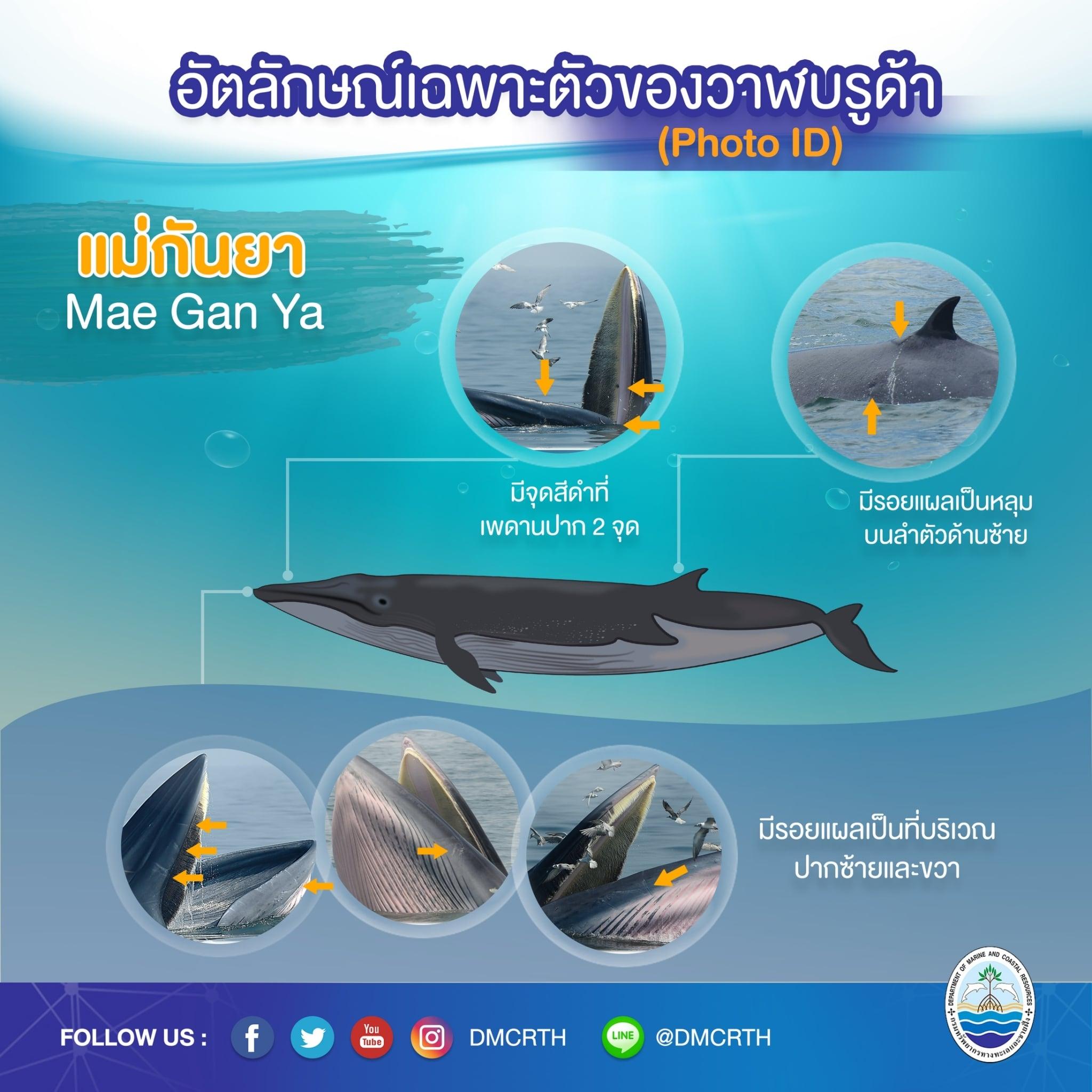 วันละวาฬ มารู้จัก ๖๐ วาฬบรูด้าในน่านน้ำไทย #๑๐ แม่กันยา