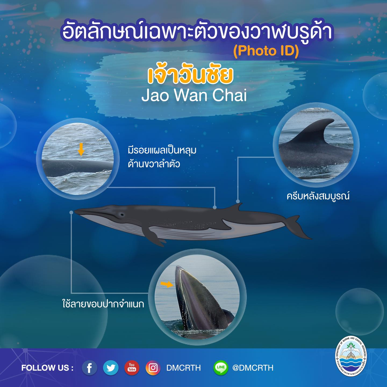 วันละวาฬ มารู้จัก ๖๐ วาฬบรูด้าในน่านน้ำไทย #๓๘ เจ้าวันชัย