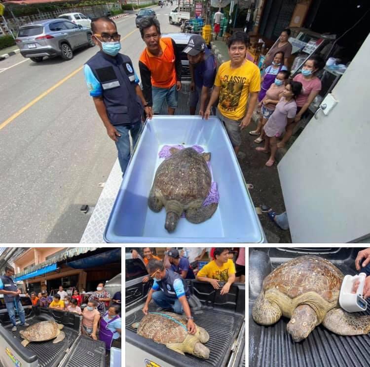 ช่วยเหลือแล้ว เต่าตนุติดโขดหินป่าชายเลนบางชัน จันทบุรี