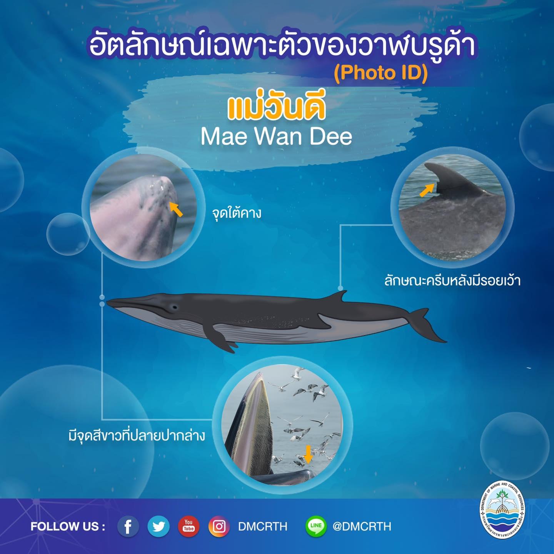 วันละวาฬ มารู้จัก ๖๐ วาฬบรูด้าในน่านน้ำไทย #๓๙ แม่วันดี