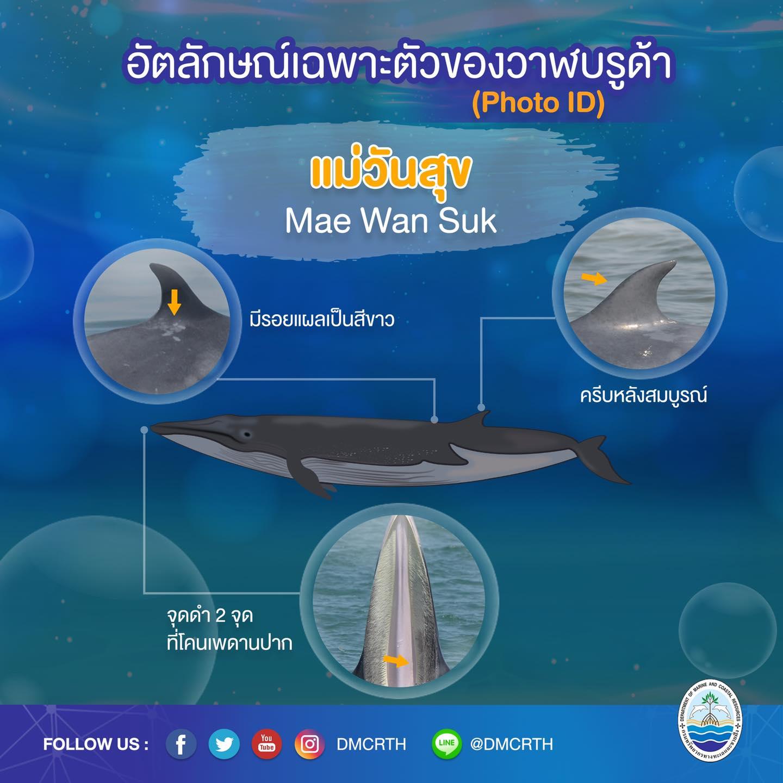 วันละวาฬ มารู้จัก ๖๐ วาฬบรูด้าในน่านน้ำไทย #๔๐ แม่วันสุข