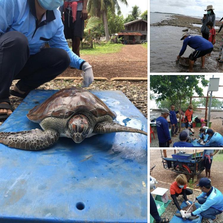 เต่าตนุติดอวนเกาะปอรอดแล้ว ชุมชนช่วยปล่อยคืนทะเลสตูล