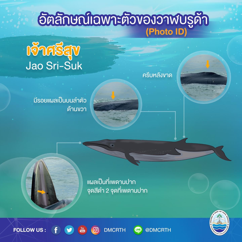 วันละวาฬ มารู้จัก ๖๐ วาฬบรูด้าในน่านน้ำไทย #๔๑ เจ้าศรีสุข