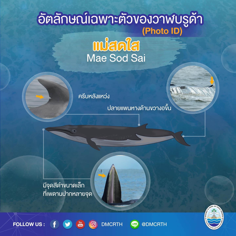 วันละวาฬ มารู้จัก ๖๐ วาฬบรูด้าในน่านน้ำไทย #๔๒ แม่สดใส